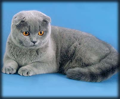 Порода вашей кошки.  Шотла́ндская вислоу́хая ко́шка или скоттиш-фолд.
