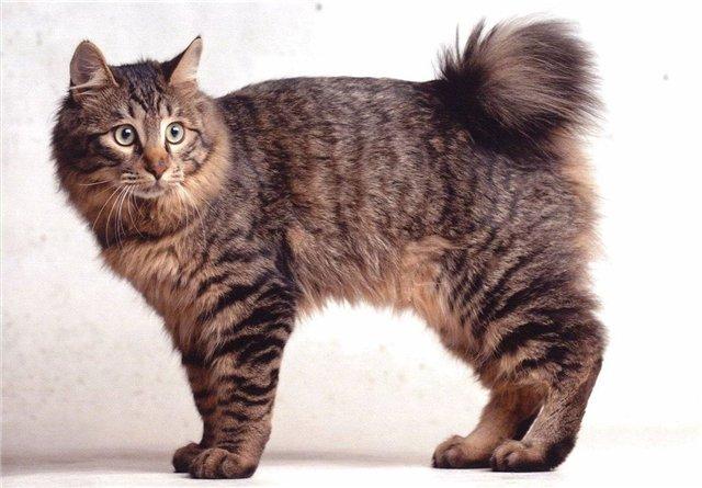 фото японский бобтейл кошка